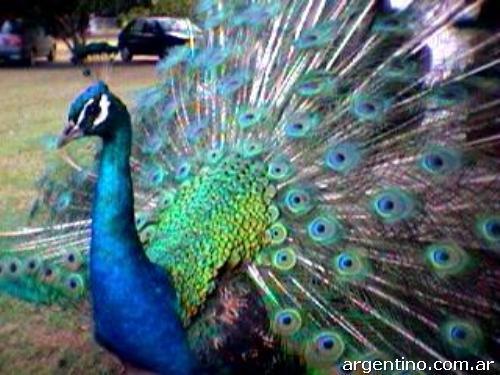 Fotos de pavos reales y faisanes en hurlingham - Fotos de un pavo real ...