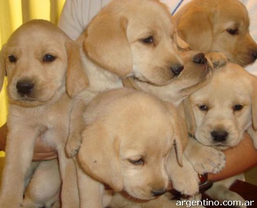 Vendo Cachorros Labrador Golden Retriever En Jesús María Teléfono