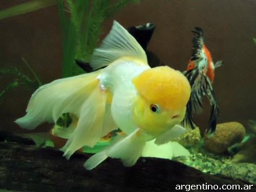 Fotos de peces de agua fr a y accesorios para acuario en for Cuidados acuario agua fria