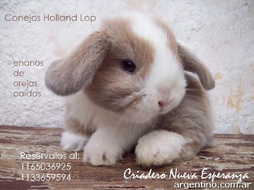 Conejos enanos holland lop en la paternal - Casas para conejos enanos ...