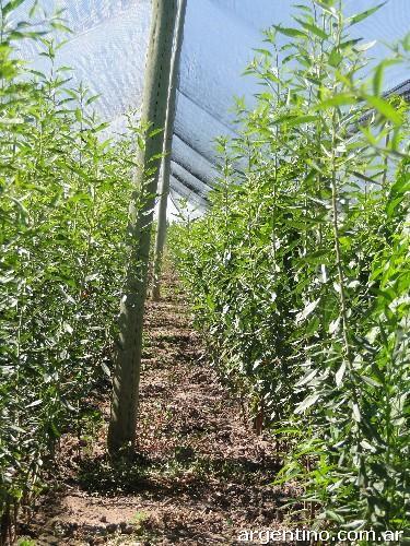 Fotos de vivero de plantas frutales nogales y almendros for Vivero mi planta