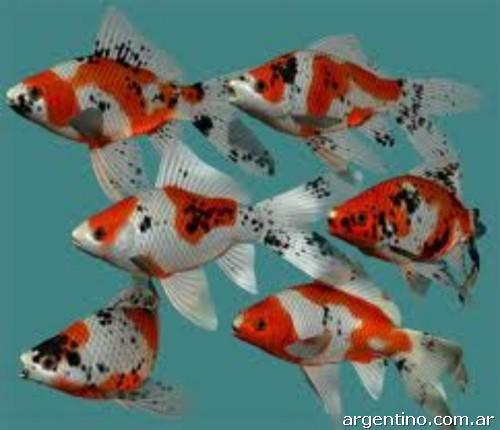 Fotos de peces de agua fr a en rosario for Peces de agua fria koi